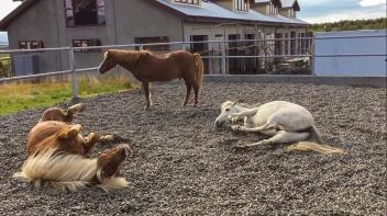 Icelandic Ponies Rolling Around